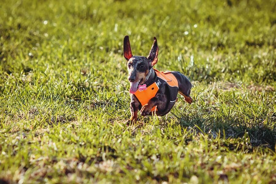 Охотничий жилет для собаки SVA-1