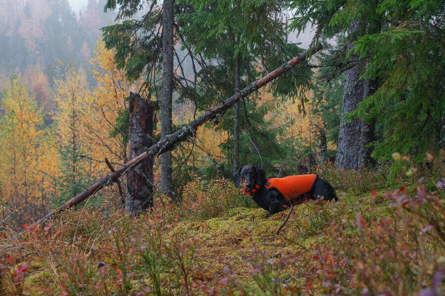 Оранжевый охотничий неопреновый жилет для собаки NV-3 Orange Hunter II